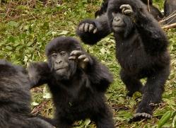 mountain-gorilla-rwanda-3213-copyright-photographers-on-safari-com