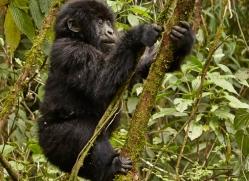 mountain-gorilla-rwanda-3218-copyright-photographers-on-safari-com