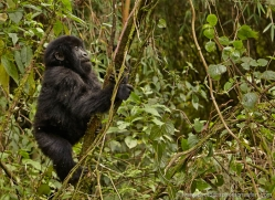 mountain-gorilla-rwanda-3219-copyright-photographers-on-safari-com