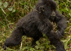 mountain-gorilla-rwanda-3221-copyright-photographers-on-safari-com