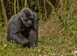mountain-gorilla-rwanda-3222-copyright-photographers-on-safari-com