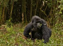 mountain-gorilla-rwanda-3223-copyright-photographers-on-safari-com