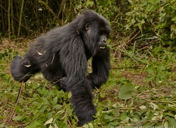 mountain-gorilla-rwanda-3225-copyright-photographers-on-safari-com