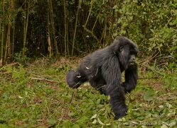 mountain-gorilla-rwanda-3226-copyright-photographers-on-safari-com