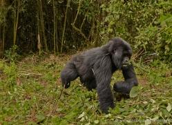 mountain-gorilla-rwanda-3228-copyright-photographers-on-safari-com