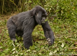 mountain-gorilla-rwanda-3229-copyright-photographers-on-safari-com
