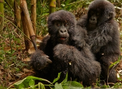 mountain-gorilla-rwanda-3231-copyright-photographers-on-safari-com