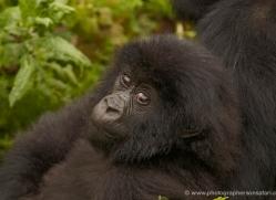 mountain-gorilla-rwanda-3232-copyright-photographers-on-safari-com