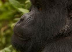 mountain-gorilla-rwanda-3233-copyright-photographers-on-safari-com