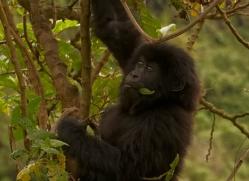 mountain-gorilla-rwanda-3234-copyright-photographers-on-safari-com