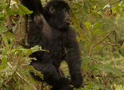 mountain-gorilla-rwanda-3236-copyright-photographers-on-safari-com