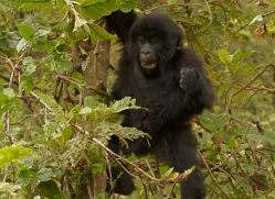 mountain-gorilla-rwanda-3237-copyright-photographers-on-safari-com