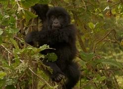 mountain-gorilla-rwanda-3238-copyright-photographers-on-safari-com