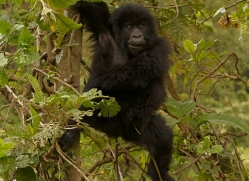 mountain-gorilla-rwanda-3239-copyright-photographers-on-safari-com