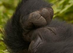 mountain-gorilla-rwanda-3241-copyright-photographers-on-safari-com