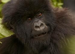 mountain-gorilla-rwanda-3242-copyright-photographers-on-safari-com