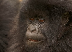 mountain-gorilla-rwanda-3243-copyright-photographers-on-safari-com
