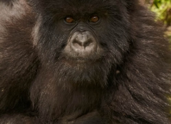 mountain-gorilla-rwanda-3244-copyright-photographers-on-safari-com