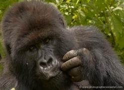 mountain-gorilla-rwanda-3246-copyright-photographers-on-safari-com