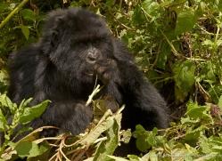 mountain-gorilla-rwanda-3247-copyright-photographers-on-safari-com