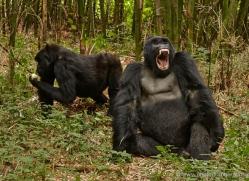 mountain-gorilla-rwanda-3248-copyright-photographers-on-safari-com