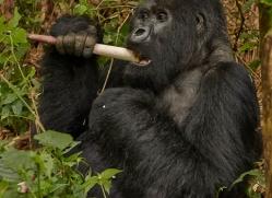 mountain-gorilla-rwanda-3251-copyright-photographers-on-safari-com