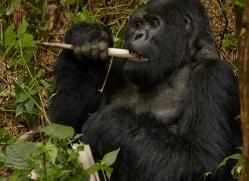 mountain-gorilla-rwanda-3252-copyright-photographers-on-safari-com