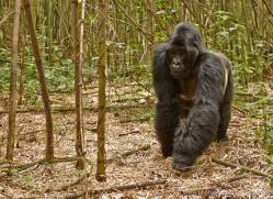 mountain-gorilla-rwanda-3253-copyright-photographers-on-safari-com