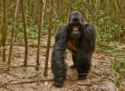 mountain-gorilla-rwanda-3255-copyright-photographers-on-safari-com