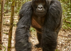 mountain-gorilla-rwanda-3256-copyright-photographers-on-safari-com
