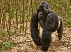 mountain-gorilla-rwanda-3257-copyright-photographers-on-safari-com