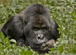mountain-gorilla-rwanda-3258-copyright-photographers-on-safari-com