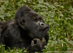 mountain-gorilla-rwanda-3260-copyright-photographers-on-safari-com