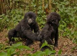 mountain-gorilla-rwanda-3261-copyright-photographers-on-safari-com