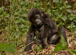 mountain-gorilla-rwanda-3262-copyright-photographers-on-safari-com