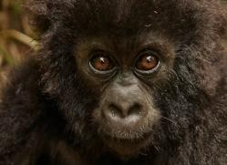 mountain-gorilla-rwanda-3263-copyright-photographers-on-safari-com