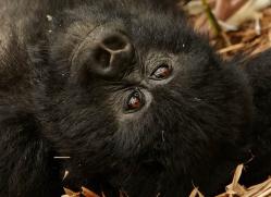 mountain-gorilla-rwanda-3264-copyright-photographers-on-safari-com