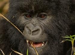 mountain-gorilla-rwanda-3265-copyright-photographers-on-safari-com