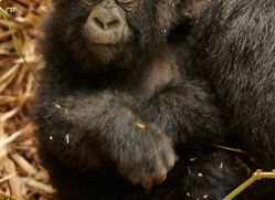 mountain-gorilla-rwanda-3268-copyright-photographers-on-safari-com