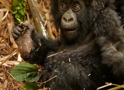 mountain-gorilla-rwanda-3269-copyright-photographers-on-safari-com