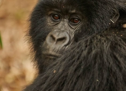 mountain-gorilla-rwanda-3270-copyright-photographers-on-safari-com