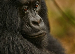 mountain-gorilla-rwanda-3271-copyright-photographers-on-safari-com