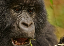 mountain-gorilla-rwanda-3273-copyright-photographers-on-safari-com