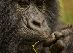 mountain-gorilla-rwanda-3274-copyright-photographers-on-safari-com