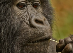 mountain-gorilla-rwanda-3275-copyright-photographers-on-safari-com