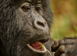 mountain-gorilla-rwanda-3276-copyright-photographers-on-safari-com