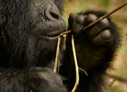 mountain-gorilla-rwanda-3277-copyright-photographers-on-safari-com