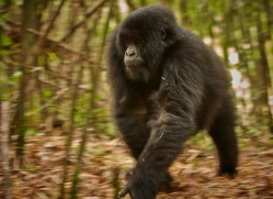 mountain-gorilla-rwanda-3279-copyright-photographers-on-safari-com