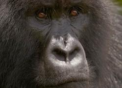 mountain-gorilla-rwanda-3281-copyright-photographers-on-safari-com