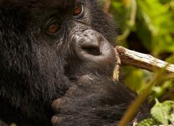 mountain-gorilla-rwanda-3282-copyright-photographers-on-safari-com